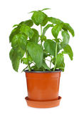 Basil plant in pot Royalty Free Stock Images