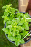 Basil plant in a pot Royalty Free Stock Photo