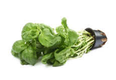 Basil plant in a pot isolated Stock Images