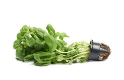 Basil plant in a pot isolated Stock Photo