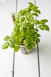 Basil plant in  pot with name tag Stock Photos