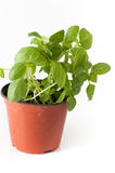 Basil plant with pot and roots Stock Images