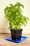 Basil Plant on a rustic wooden floor sitting on a blue plate Royalty Free Stock Photography