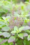 Basil Plant saint. images libres de droits