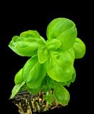 Basil plant Royalty Free Stock Photo
