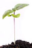 Basil plant sprout Stock Photos