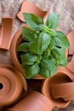 Basil Plant In Terracotta Pot Stock Image