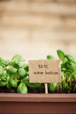 Basil plant on urban garden Stock Photos