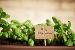 Basil plant on urban garden Stock Photo