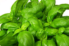 Basil plant in vase Royalty Free Stock Images