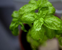 Basil Plant with Water Drops Stock Photography