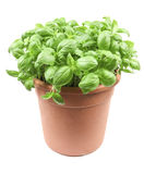 Basil. A plant of basil on a white background Stock Photo