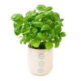 Basil plant in white flower pot isolated on white. Basil plant in white flower pot with blue dots isolated on white Stock Image