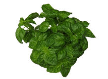 Basil plant on white. Fresh green basil plant on white background Royalty Free Stock Images