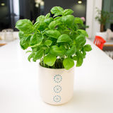 Basil plant in white pot on white table. Basil plant in white flower pot with blue dots on white table Stock Image