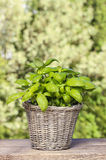 Basil plant in wicker basket on wooden table Royalty Free Stock Image