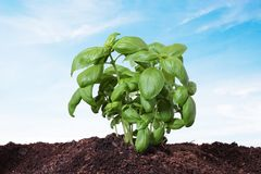 Basil planted on the earth, isolated Royalty Free Stock Photography