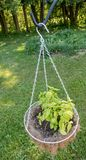 Basil planted in hanging basket. Basil herb planted in hanging coco white wire basket in backyard above grass lawn, garnish to add flavor to food, Lamiaceae Royalty Free Stock Photo