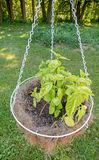 Basil planted in hanging basket. Basil herb planted in hanging coco white wire basket in backyard above grass lawn, garnish to add flavor to food, Lamiaceae Stock Images