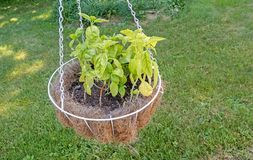 Basil planted in hanging basket. Basil herb planted in hanging coco white wire basket in backyard above grass lawn, garnish to add flavor to food, Lamiaceae Stock Photo
