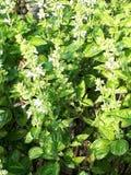 Basil Plants Arkivbild