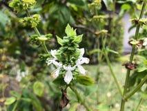 Basil Plants Imágenes de archivo libres de regalías