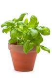 Basil Plants Immagini Stock Libere da Diritti