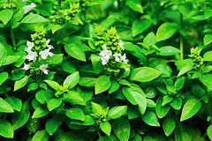 Basil. Plants beginning to flower stock image