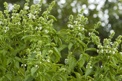 Basil Plants Stock Photo