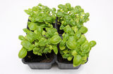Basil plants in black plastic pot. Royalty Free Stock Photo