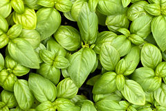 Basil Plants Stock Images