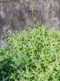 Basil. Plants with concrete wall Royalty Free Stock Photos