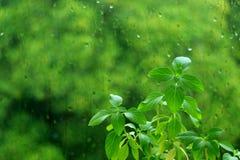 Basil Plants doux vert vibrant contre le verre de fenêtre avec des gouttes de pluie et le feuillage vert trouble à l'arrière-plan Photo libre de droits