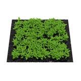 Basil Plants en el jardín en blanco ilustración 3D Fotografía de archivo libre de regalías