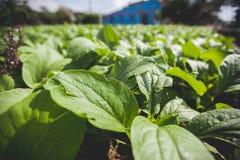 Basil plants farm Stock Images