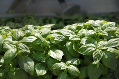 Basil plants in the garden. Green basil plants in the garden royalty free stock image