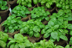 Basil plants Ocimum basilicum in a greenhouse. Sweet Basil plants in coir pots in a greenhouse Royalty Free Stock Image