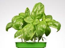 Basil Plants Stock Photos