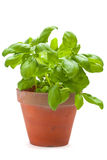 Basil plants Royalty Free Stock Images