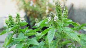 Basil plants on terrace, closeup stock footage