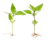 Basil Plants Stock Photo