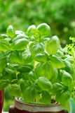Basil in pot Stock Photography