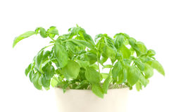 Basil in pot Royalty Free Stock Image