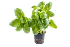 Basil in pot. Basil herb plant in plastic pot,  on white background Royalty Free Stock Photography