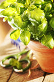 Basil in the pot Stock Images