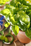 Basil in the pot Royalty Free Stock Image