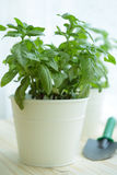 Basil in a pot Royalty Free Stock Photo