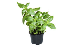 Basil in pot Stock Photo