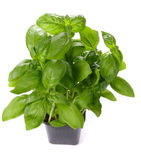 Basil in pot Stock Images