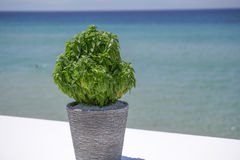 Basil in a pot before blurred beach background. Royalty Free Stock Photo